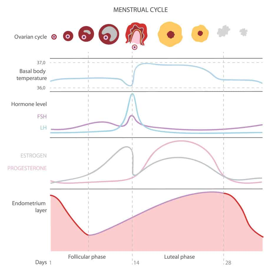 chart of phases of the menstrual cycle